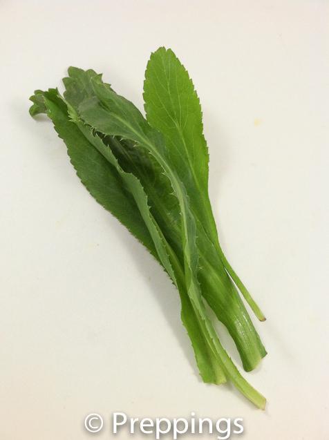 Saw-Leaf Herb