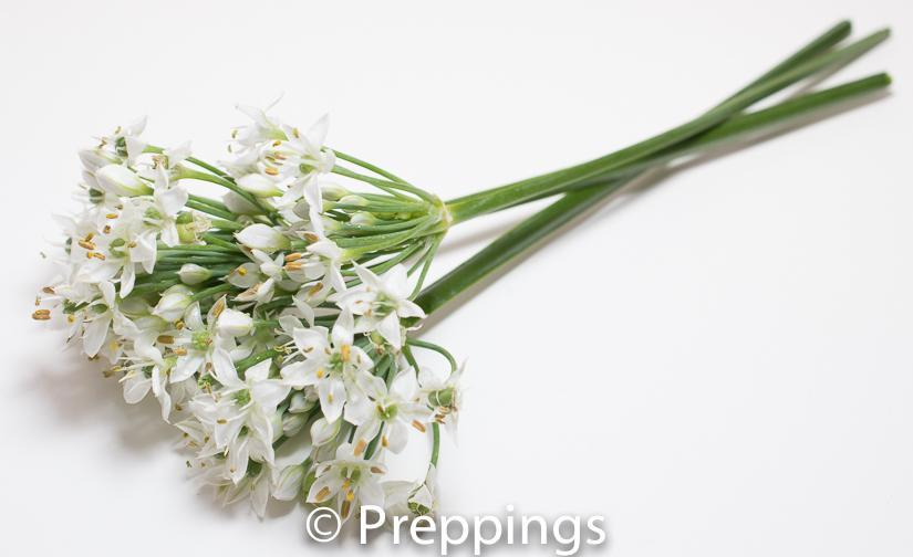 Garlic Chive Flowers