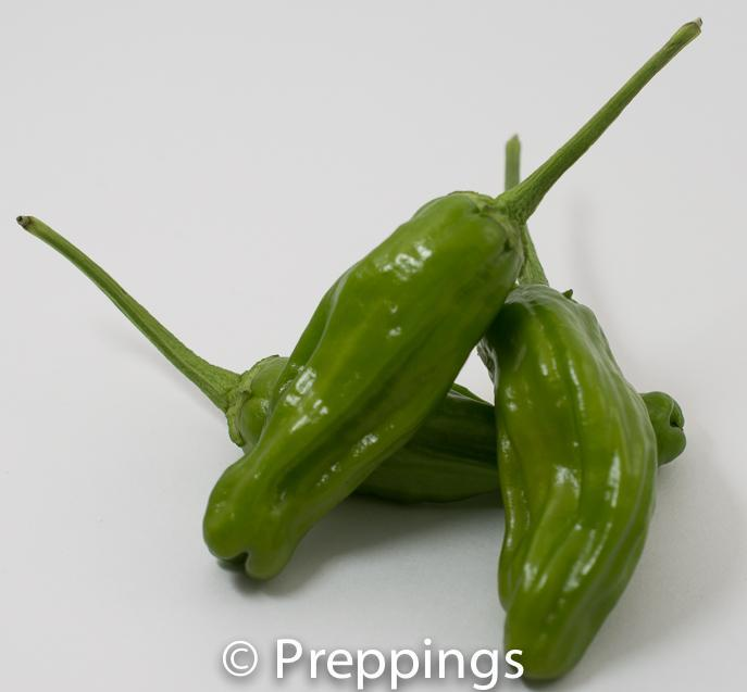Shishito Chile Pepper