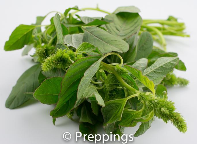 Green Amaranth Greens