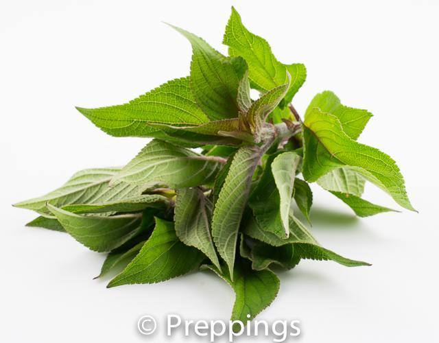 Anise Leaf
