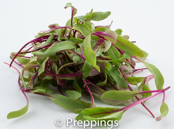Bull's Blood Microgreens