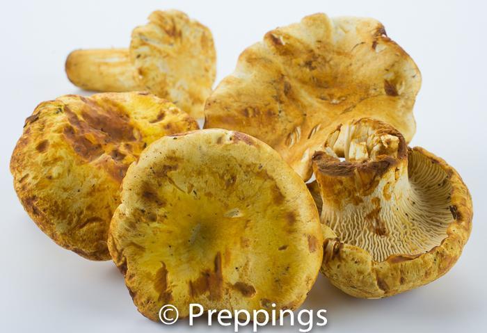 White Chanterelle Mushroom