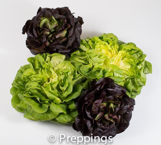 Ingredient Of The Day: Salanova Lettuce