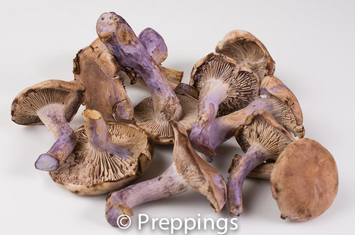 Ingredient Of The Day: Blewit Mushroom