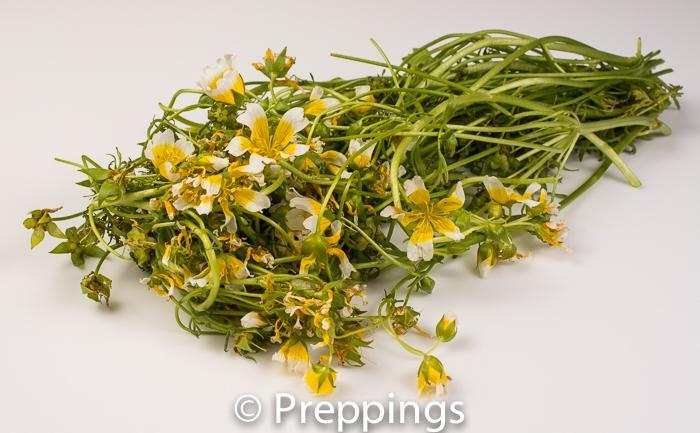 Ingredient Of The Day: Meadow Cress
