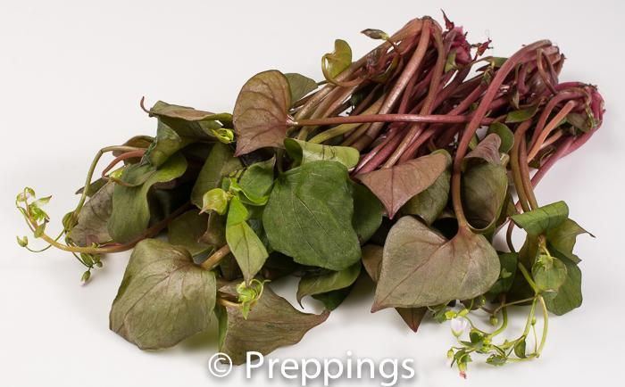 Ingredient Of The Day: Red Miner's Lettuce