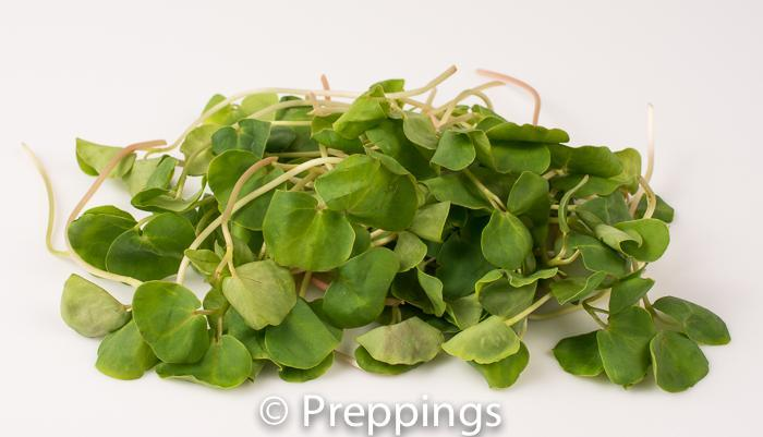 Ingredient Of The Day: Buckwheat Sprout