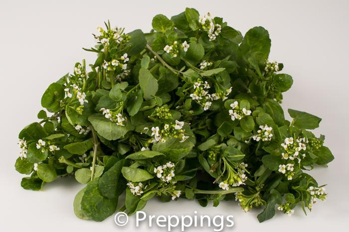 Flowering Watercress