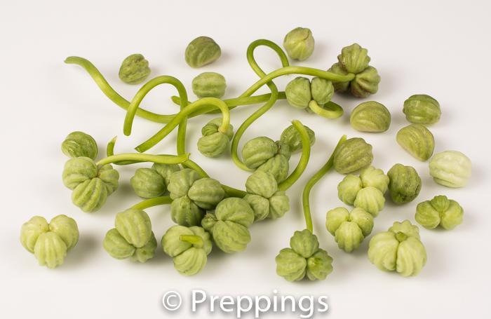 Nasturtium Seed