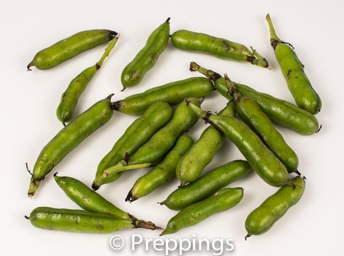 Baby Fava Bean
