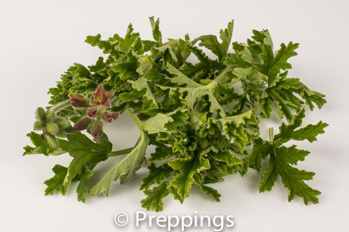 Rose Geranium Greens