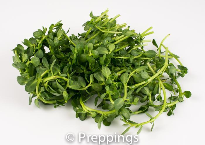 Ingredient Of The Day: Bittercress