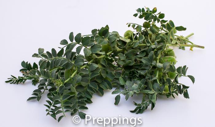 Garbanzo Bean Greens