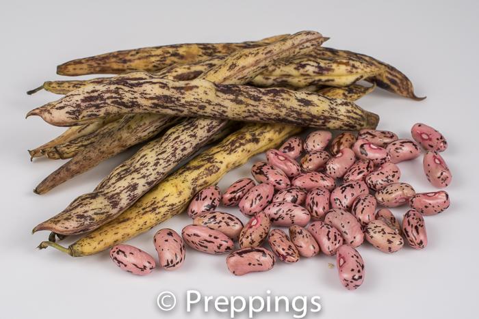 Fresh Rattlesnake Shelling Bean