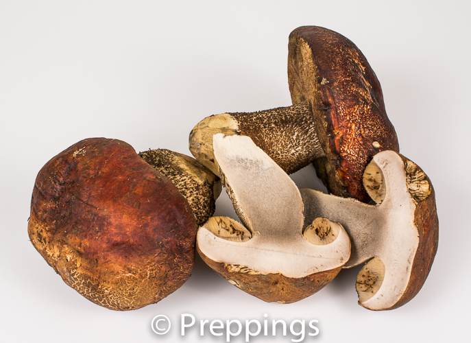Ingredient Of The Day: Manzanita Bolete Mushroom