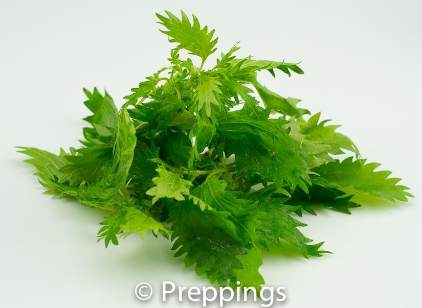 Ingredient Of The Day: Dwarf Nettles