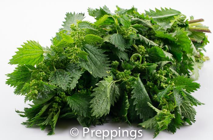 Ingredient Of The Day: Nettles