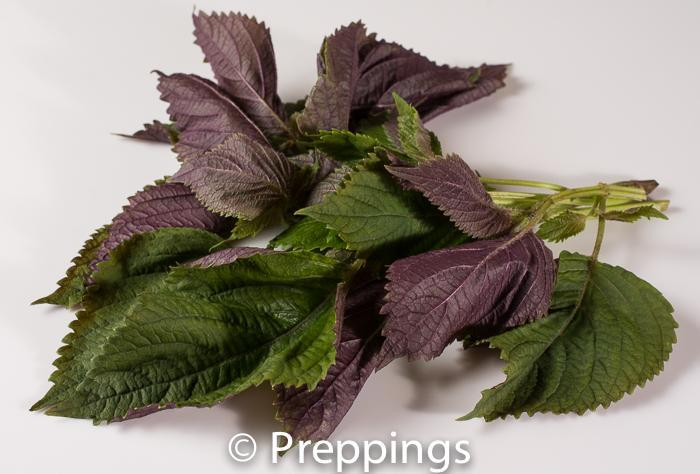 Ingredient Of The Day: Chinese Shiso