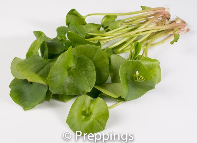 Ingredient Of The Day: Miner's Lettuce