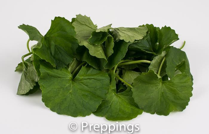 Ingredient Of The Day: Pennywort