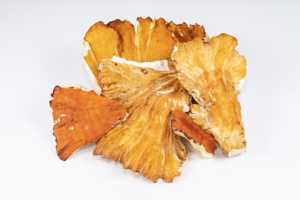 Chicken Of The Woods Mushroom