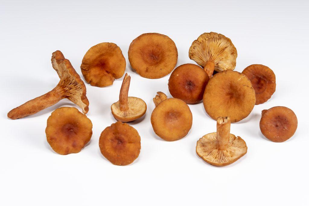 Candy Cap Mushroom